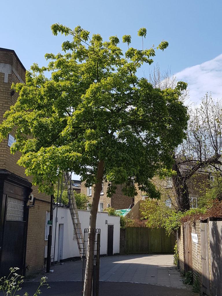 Maple: Acer lobelii