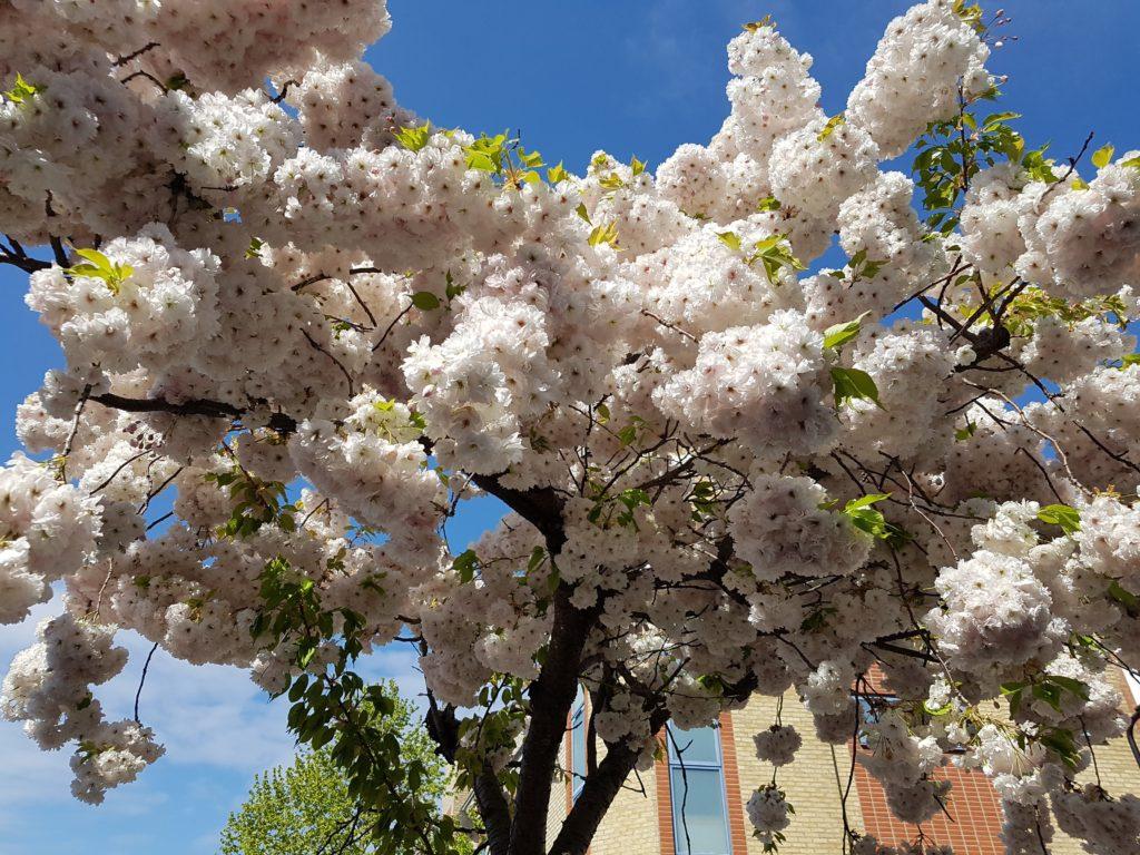 Prunus 'Shimidusa Sakura'